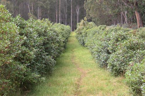 tasmanischer-bergpfeffer-Anbau-500px